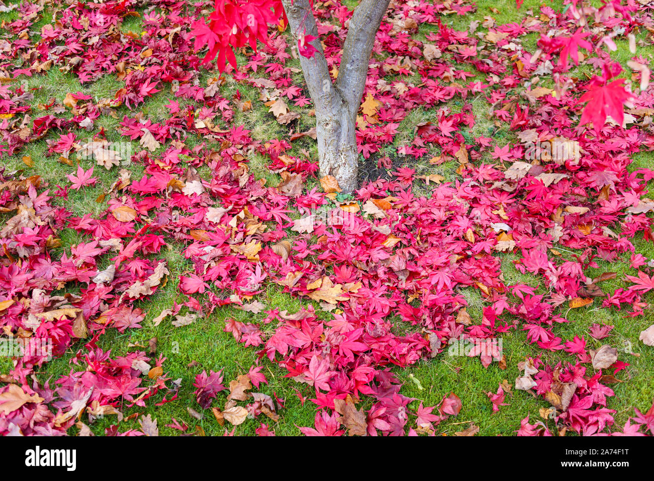 A carpet of crimson red fallen leaves from a Japanese maple (Acer palmatum) around the tree trunk on grass in autumn in south-east England, UK Stock Photo