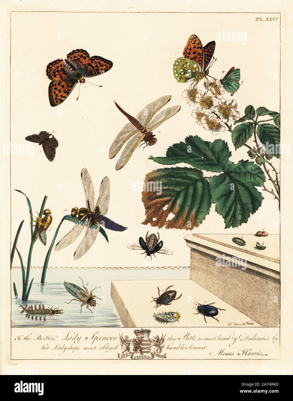 """Green hairstreak butterfly, Callophrys rubi, dark green fritillary, Argynnis aglaia, black oval or lesser silver water beetle, Hydrocharis caraboides, and flat blue-tailed dragonfly or broad-bodied chaser, Libellula depressa, on brambles, Rubus fruticosus. Handcoloured lithograph after an illustration by Moses Harris from """"The Aurelian; a Natural History of English Moths and Butterflies,"""" new edition edited by J. O. Westwood, published by Henry Bohn, London, 1840. Stock Photo"""