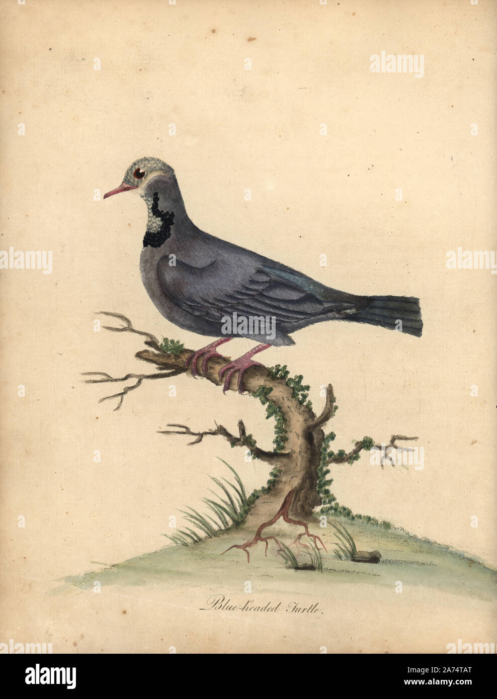 Blue-headed quail-dove, Starnoenas cyanocephala. Endangered. (Blue headed turtle or pigeon, Columba cyanocephala) Handcoloured copperplate engraving of an illustration by William Hayes from Portraits of Rare and Curious Birds from the Menagery of Osterly Park, London, Bulmer, 1794. Stock Photo