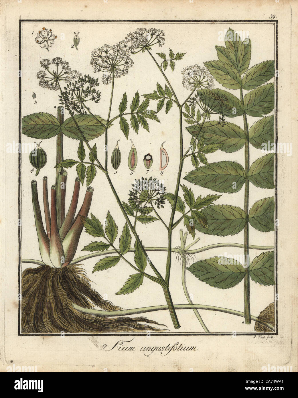 Cutleaf water parsnip, Berula erecta. Handcoloured copperplate engraving by P. Haas from Dr. Friedrich Gottlob Hayne's Medical Botany, Berlin, 1822. Hayne (1763-1832) was a German botanist, apothecary and professor of pharmaceutical botany at Berlin University. Stock Photo