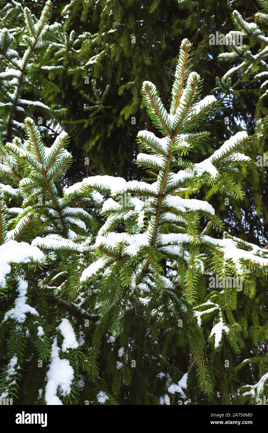 Spruce tree branches covered with fresh snow, vertical winter background photo with selective focus Stock Photo