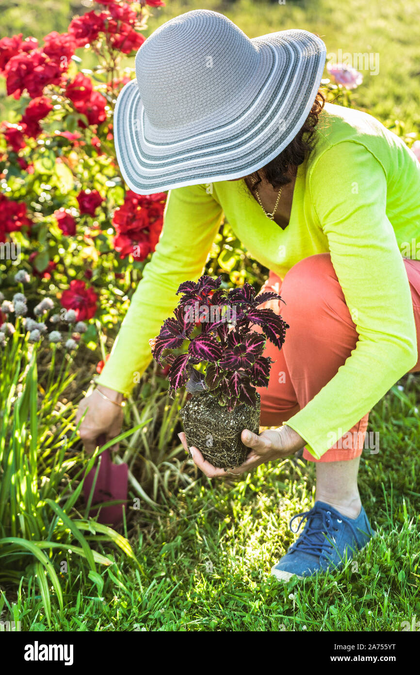 Woman planting a coleus in a massif. Bridging a gap in a massif by planting a summer plant, here a Coleus (Solenostemon scutellarioides). Stock Photo