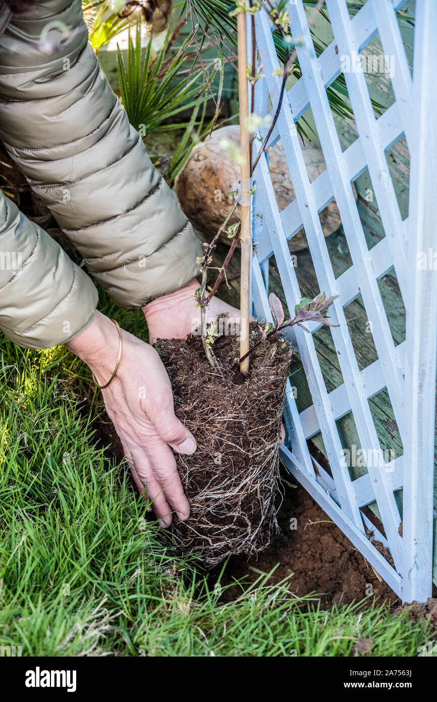 Planting a honeysuckle: setting up the subject Stock Photo