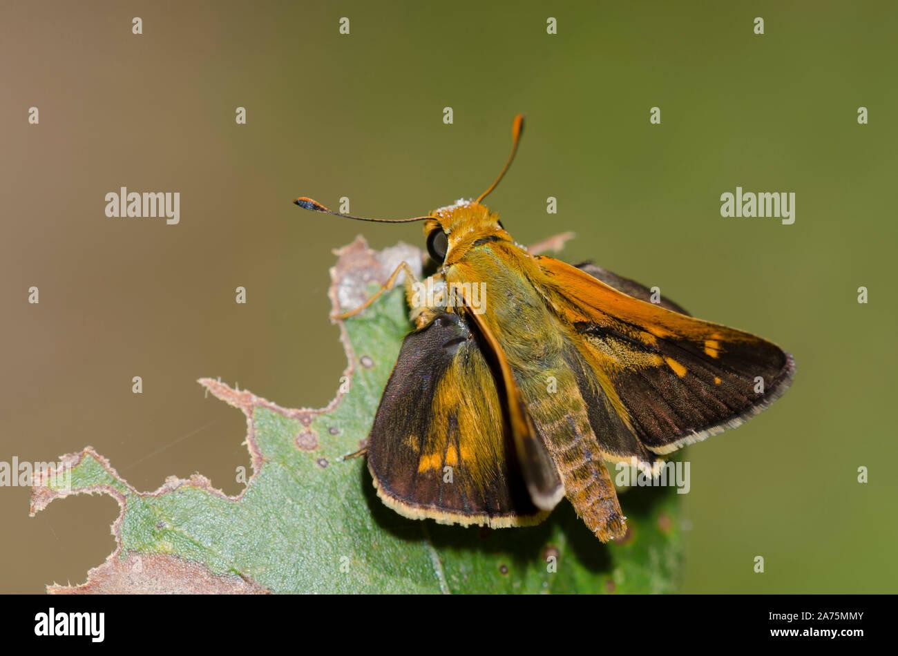 Leonard's Skipper, Hesperia leonardus, male Stock Photo