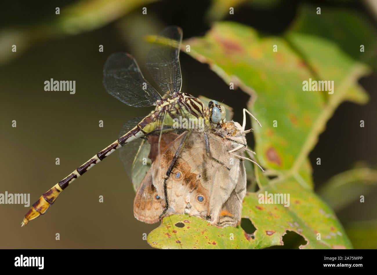 Flag-tailed Spinyleg, Dromogomphus spoliatus, feeding on captured Common Buckeye, Junonia coenia Stock Photo
