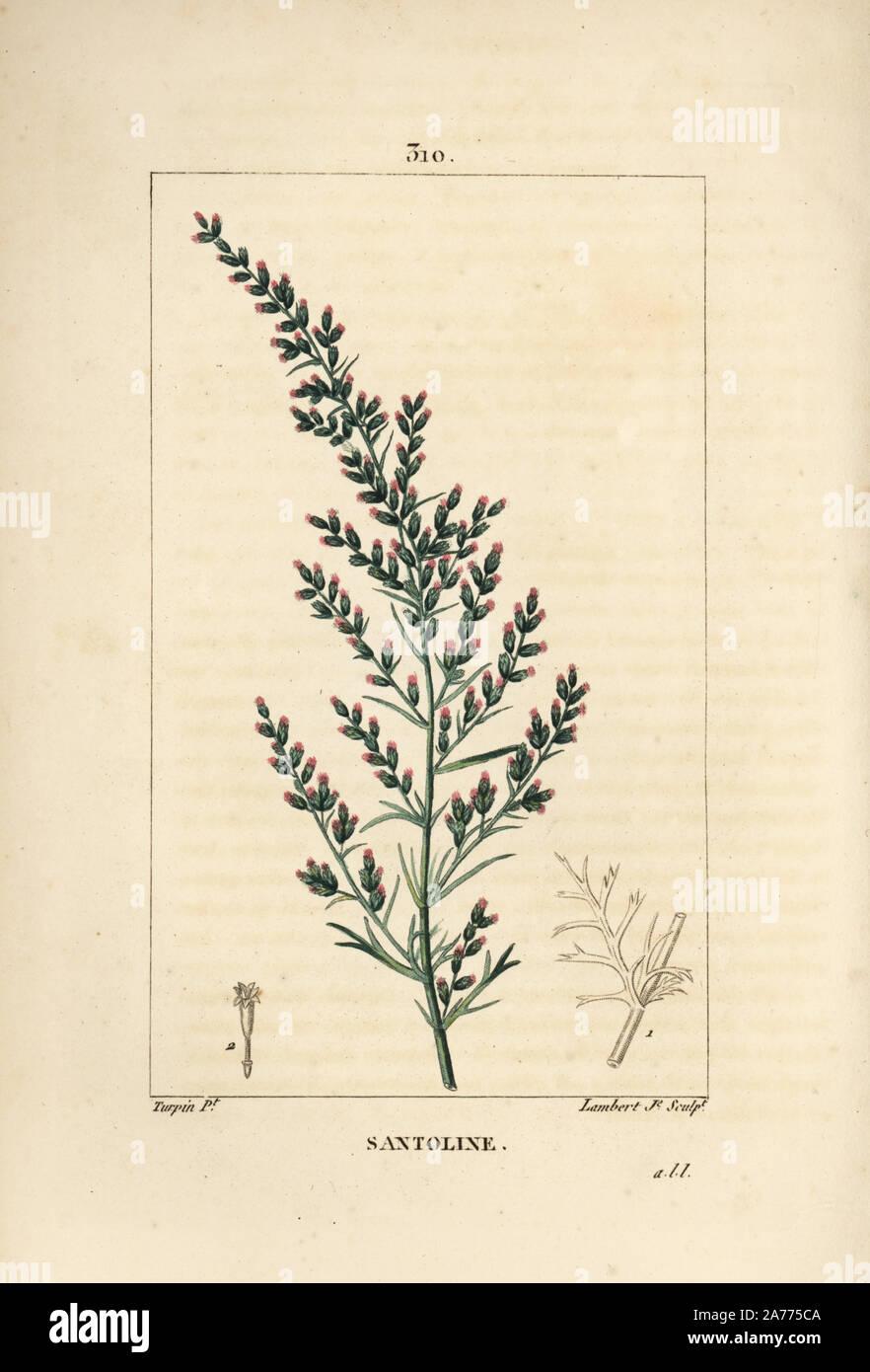 Artemisia Absinthium Drawing Stock Photos Artemisia