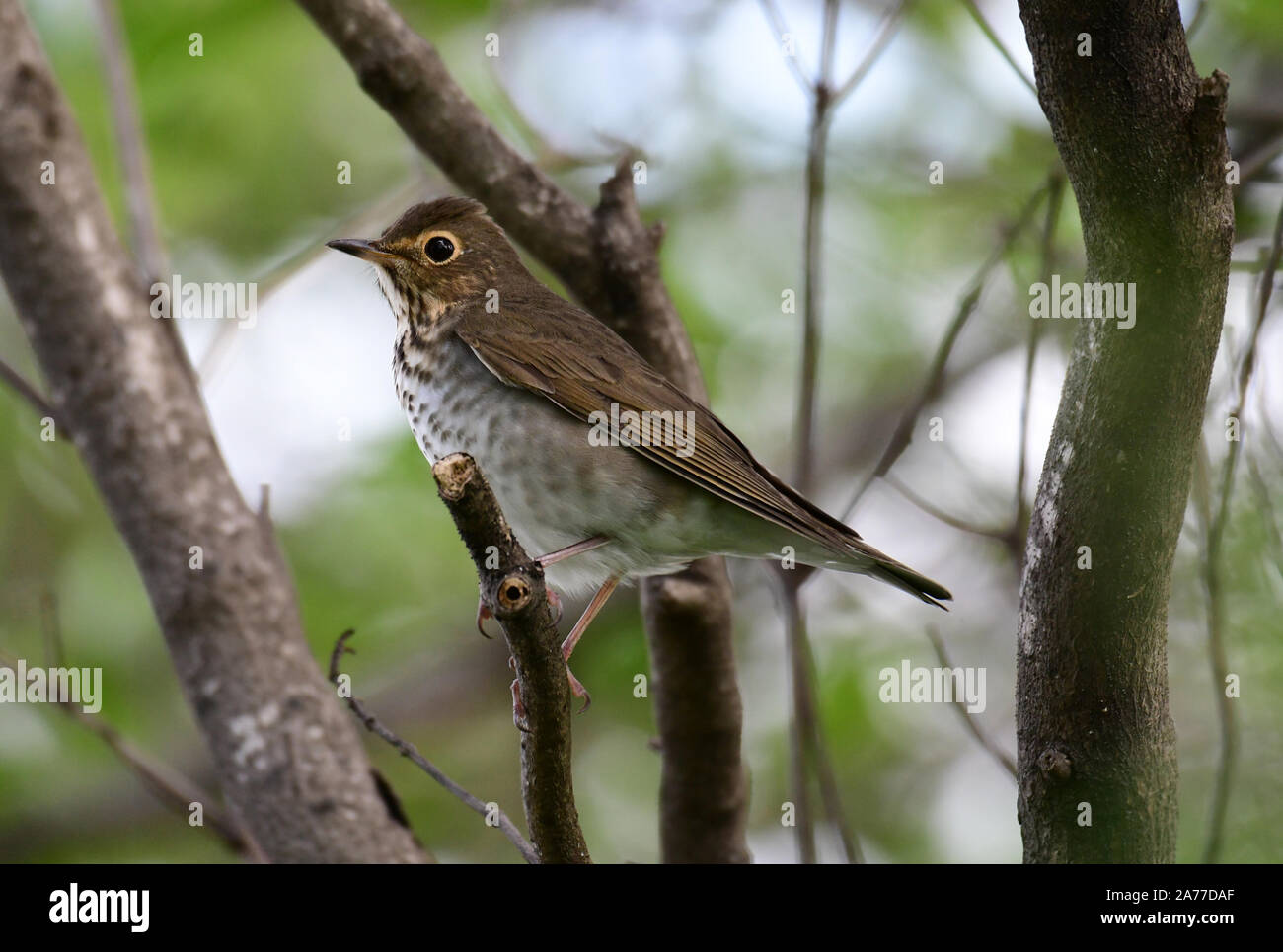 Close up of a beautiful Swainson's Thrush (Catharus ustulatus), also called Olive-backed Thrush in the forests of Panama. Stock Photo