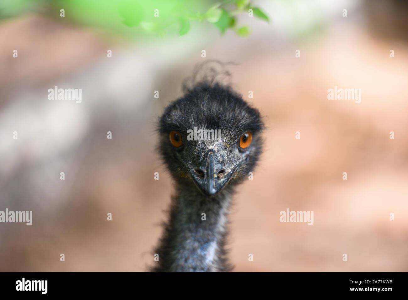 Close up of head and eye of emu / Dromaius novaehollandiae Stock Photo