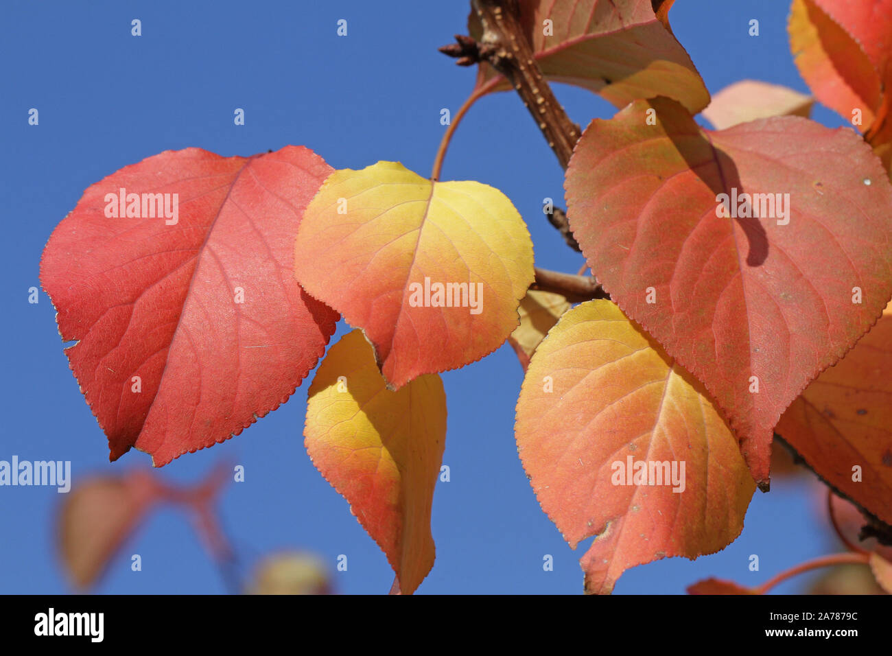 apricot fruit tree leavesin autumn or fall with the sun behind in Italy Latin prunus armeniaca rosaceae with deep orange, red and gold colours Stock Photo