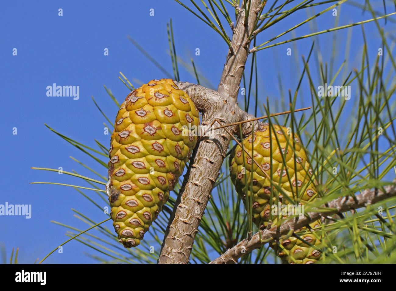 Mediterranean pine tree cone Latin pinus pinea also called the an umbrella pine or parasol pine or Italian stone pine family pinaceae in autumn Italy Stock Photo