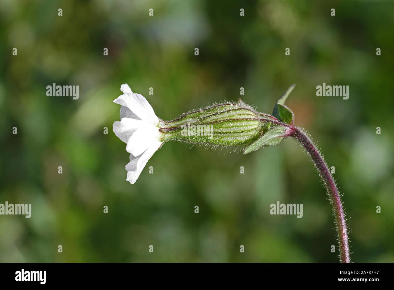 white campion similar to bladder campion or maidens tears Latin silene latifolia not vulgaris from the pink family caryophyllaceae edible wild flower Stock Photo