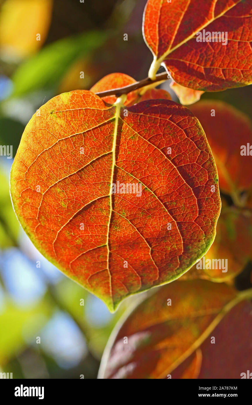 persimmon or persimon leaf or kaki leaf diospyros kaki family ebenaceae close up in autumn showing beautiful colours in Italy Stock Photo