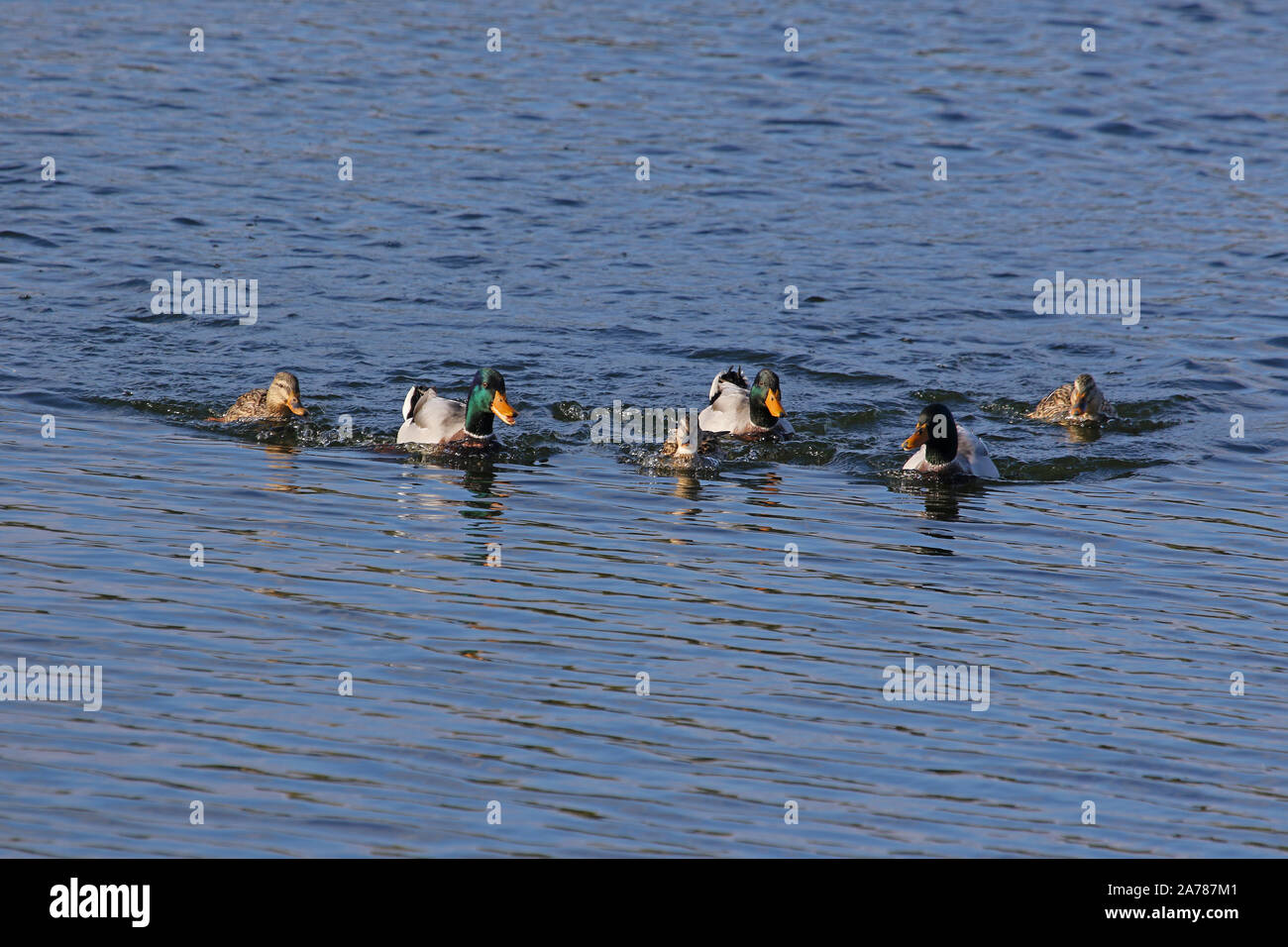 three pairs of mallards male and female ducks Latin name Anas platyrhynchos family anatidae swimming in a lake in Porto Potenza Picena in Italy Stock Photo