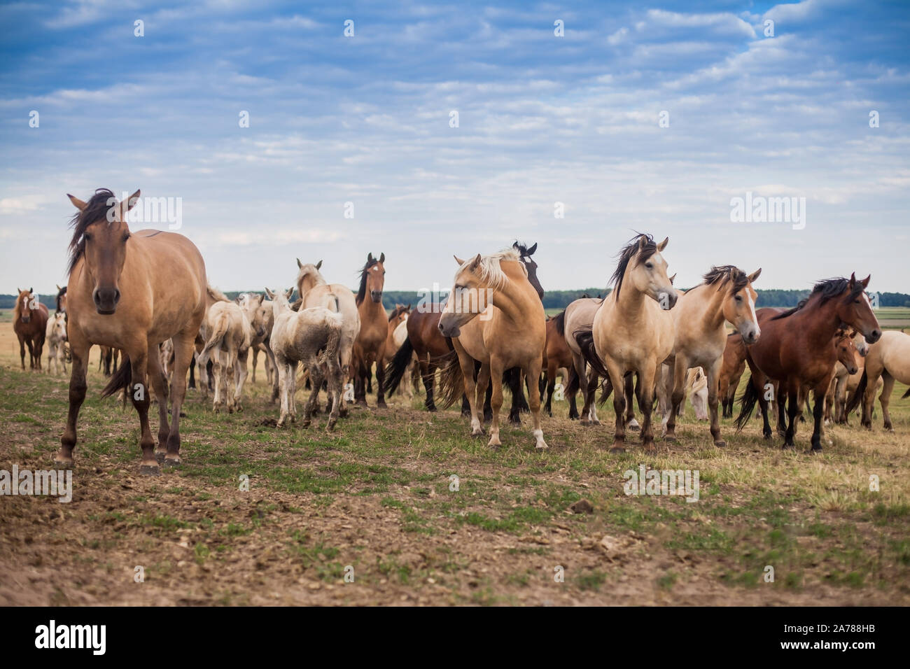 A Herd Of Wild Horses Run Across The Field A Large Herd Of Beautiful Horses Gallops Across The Field In Summer Stock Photo Alamy