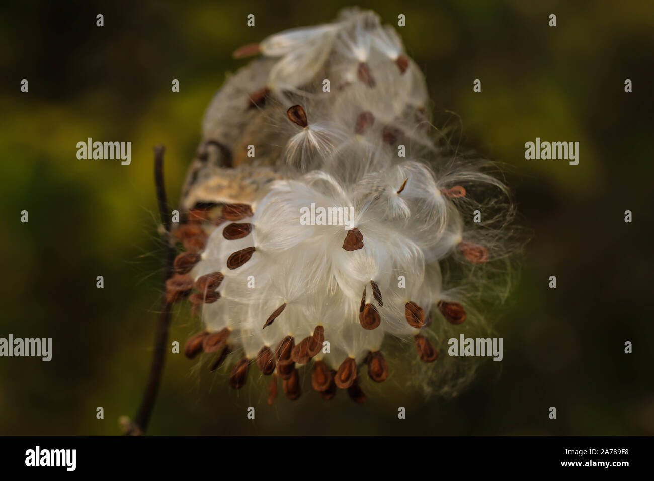 Fluffy white hairy seeds of common milkweed / Asclepias syriaca, invasive plant in the Subotica Sand in Serbia Stock Photo