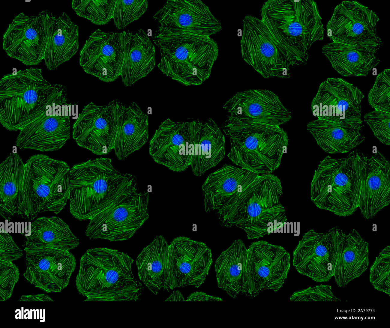 Fluorescent image of human stem cells stained with monoclonal antibodies markers under the microscopy nuclei in blue and actin microfilaments in green Stock Photo