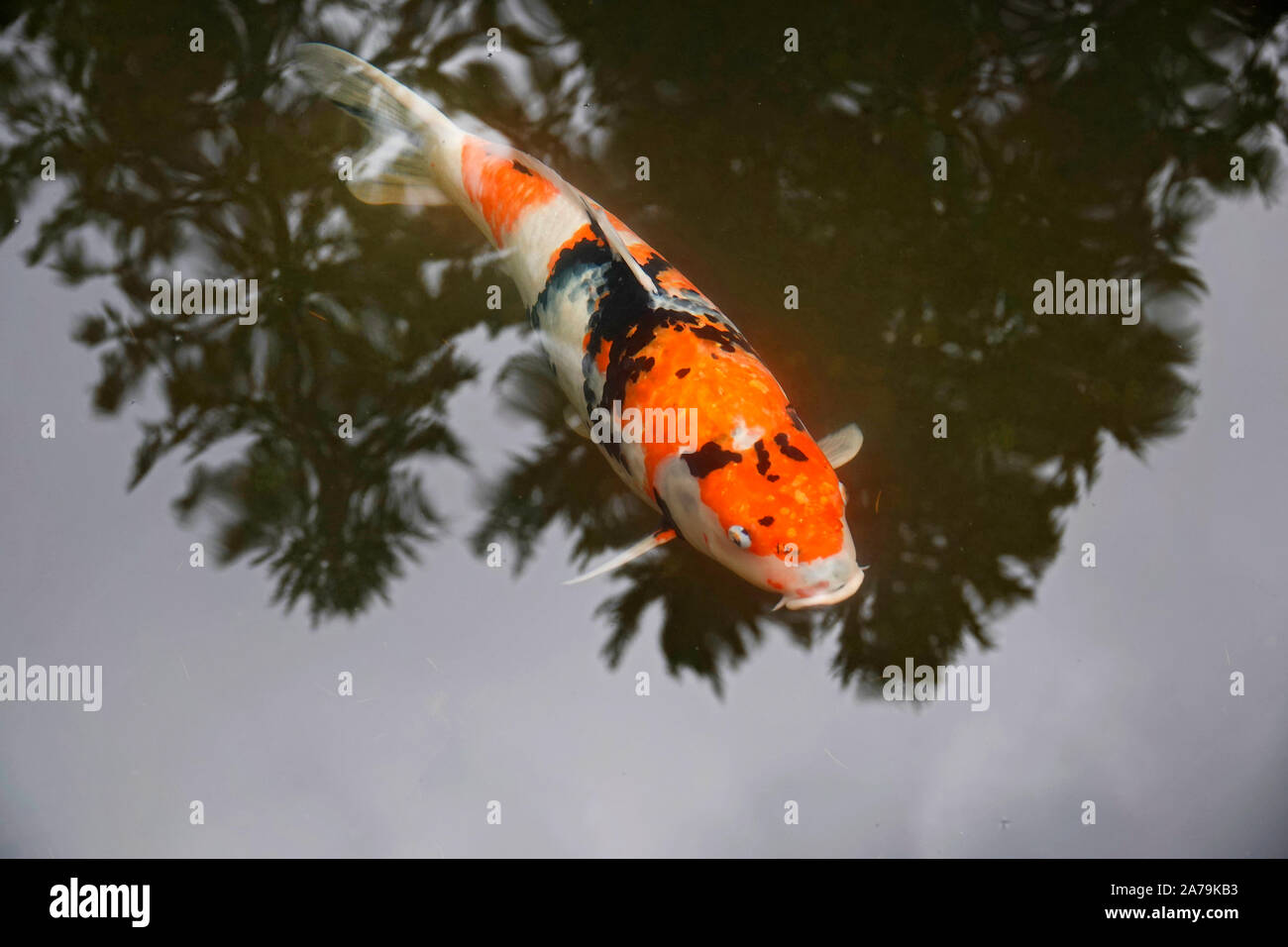 Koi fish in a fish pond  the world famous Japanese Gardens in Portland, Oregon, in Autumn. Stock Photo