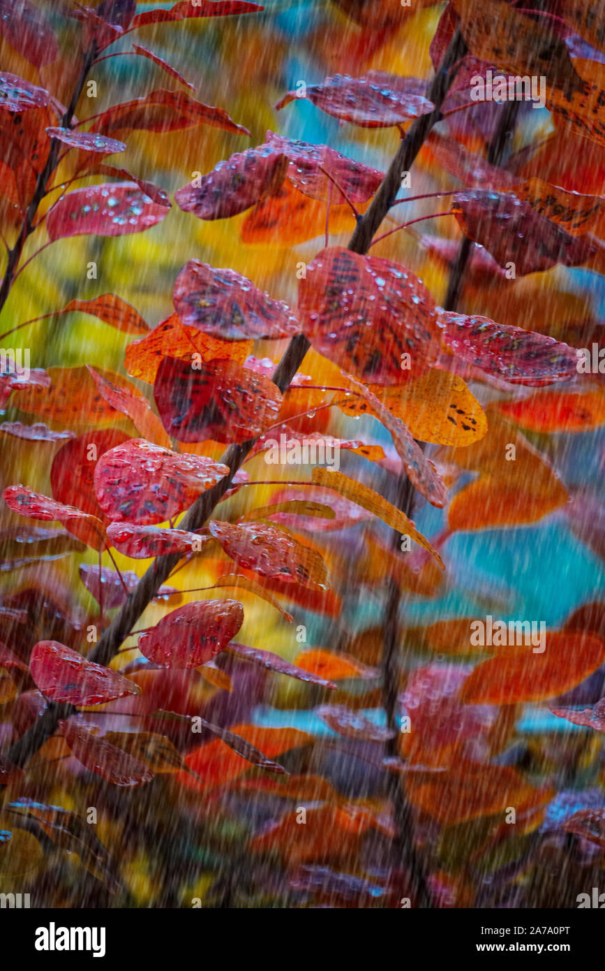 Montreal,Quebec,Canada,October 23,2019.Autumn foliage during a rain storm in Montreal,Quebec,Canada.Credit:Mario Beauregard/Alamy News Stock Photo