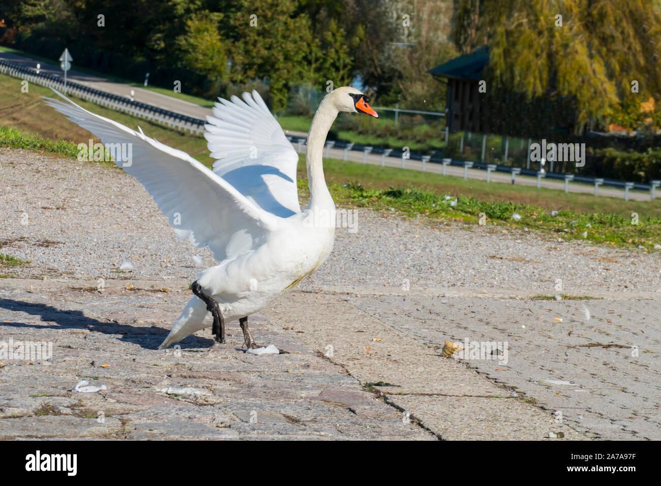 Schwan greift an und schlägt dabei wild mit seinen Flügeln Stock Photo