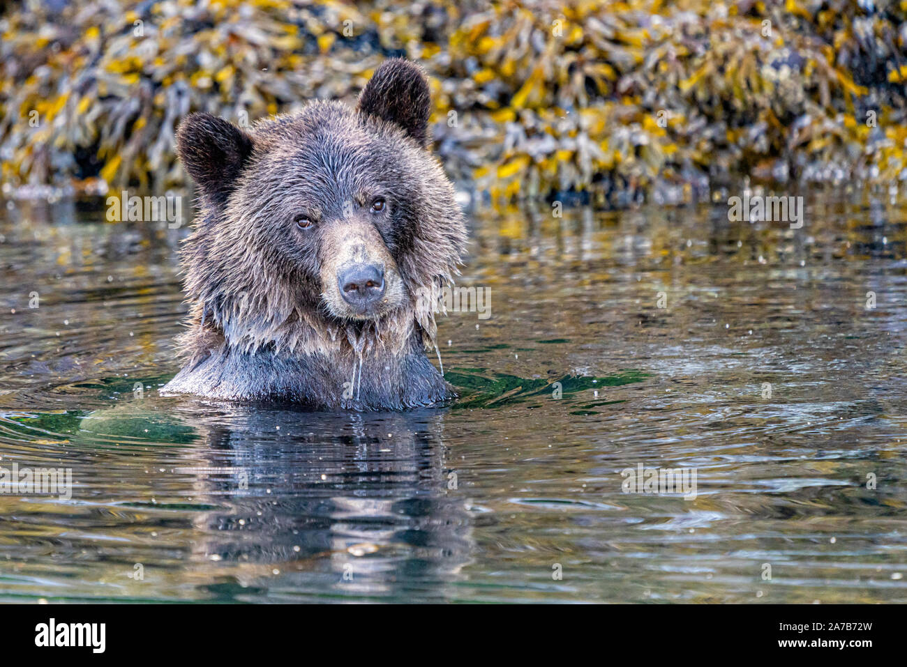 Grizzly bear swimming along the Knight Inlet shoreline during low tide, First Nations Territory, British Columbia, Canada. Stock Photo