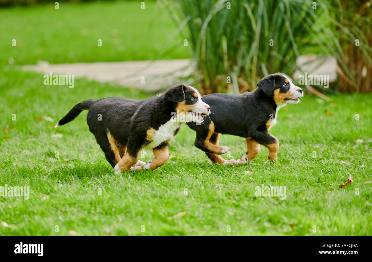 two running puppies of Greater Swiss Mountain Dog Stock Photo