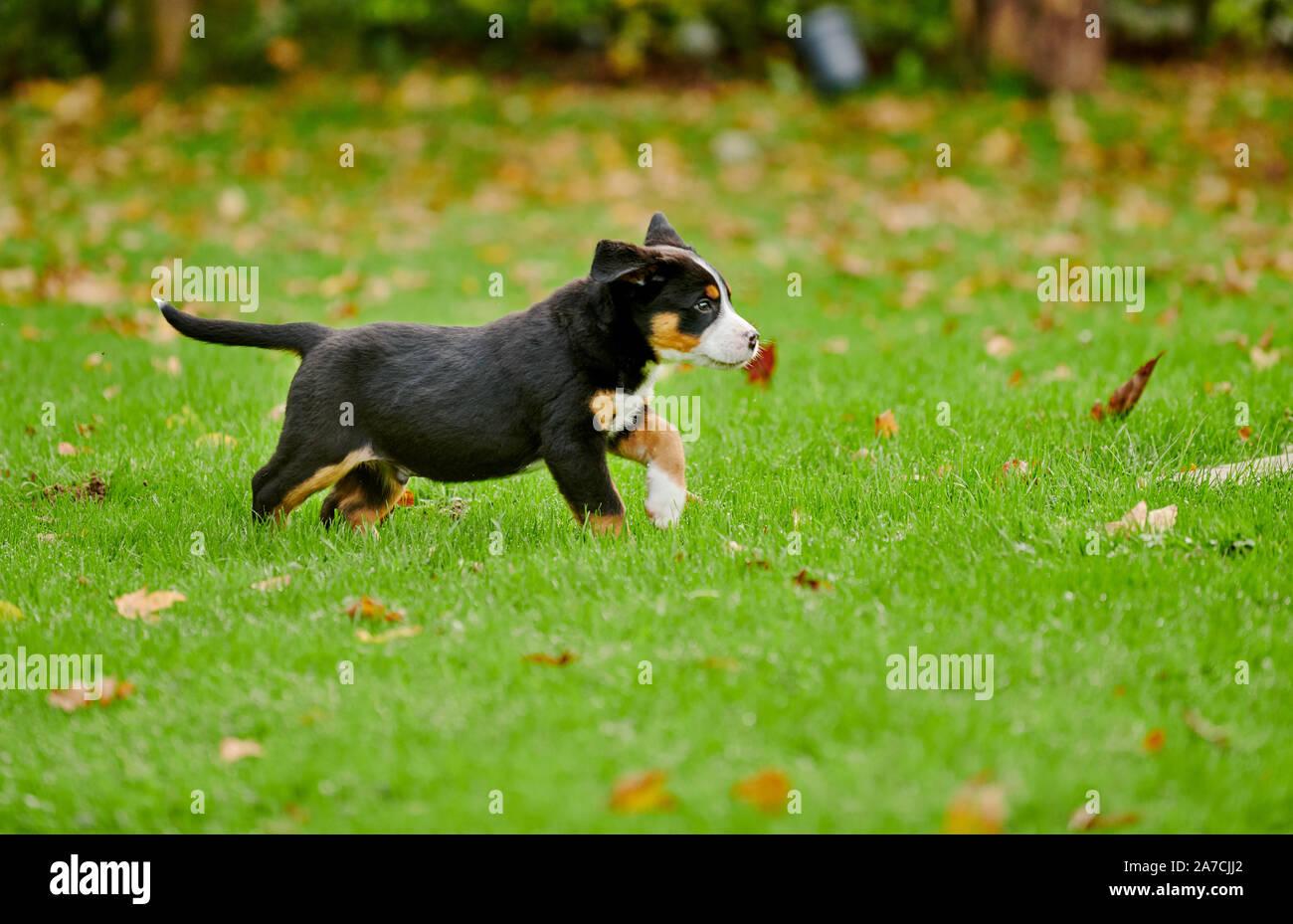 rennender Welpe eines Grosser Schweizer Sennenhund  |running Greater Swiss Mountain Dog puppy Stock Photo