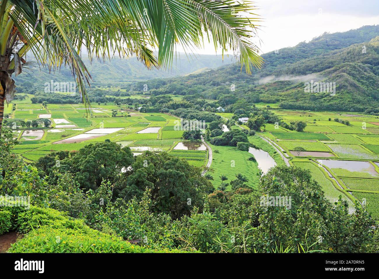 Taro fields in Hanalei Valley - Kauai, Hawaii Stock Photo