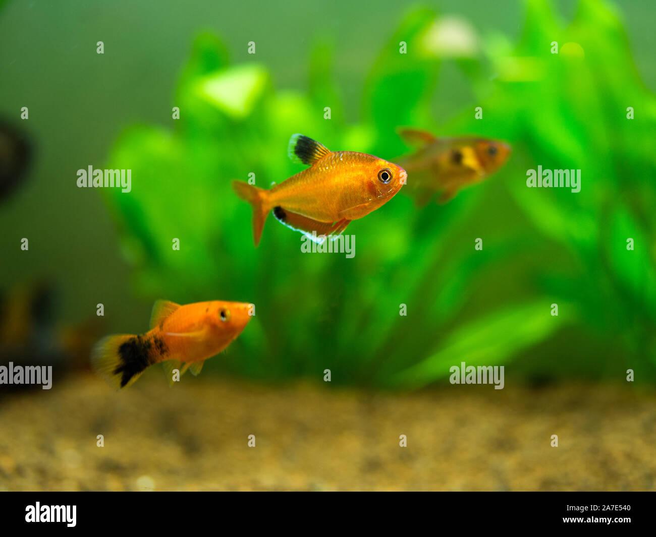 tetra serpae (Hyphessobrycon eques) in a fish tank Stock Photo