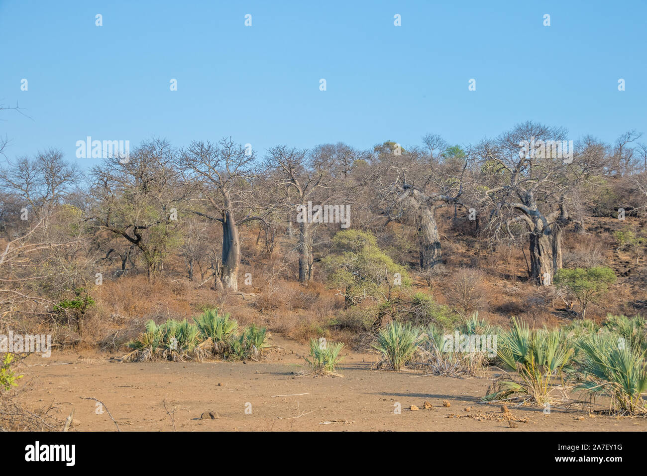 Lala palms and baobab trees in a dry Limpopo river flood plain image with copy space in horizontal format Stock Photo