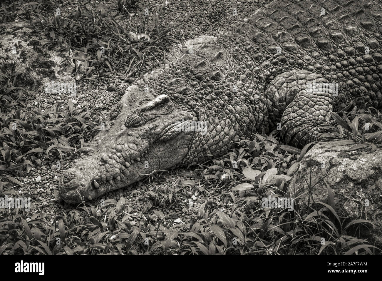 A large crocodile swamp sun baking and resting on the dry gravels Stock Photo