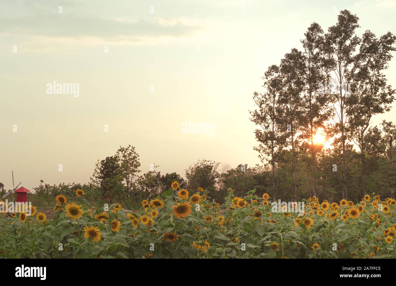 View of a rural countryside Sunflower farm, with a plantation field next to a forest and bright orange sunset shining through the forest trees Stock Photo