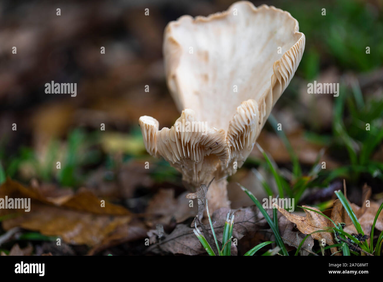 Close up of a white wild mushroom in woodland during autumn UK Stock Photo