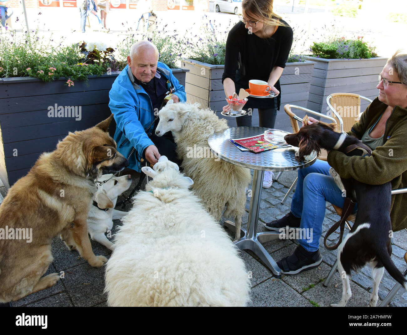 14 October 2019, Saxony, Schkeuditz: Werner Dreßler sits with the dogs Rocky (l), Emmy (2nd from l) and Holly (r) and the sheep Flöckchen (3rd from l) and the lamb Nanni in Jacqueline Rudolph's ice cream parlour. While he and the visitor Birgit Bomberg (r) want to enjoy ice cream and coffee, sheep and dogs wait for the obligatory delicious biscuits. The 79-year-old trained master toolmaker takes the five animals for a walk in the city every day and is an eye-catcher for locals and visitors alike. The sheep flake is the mother of lamb Nanni. Both were raised with the bottle and are accustomed t Stock Photo