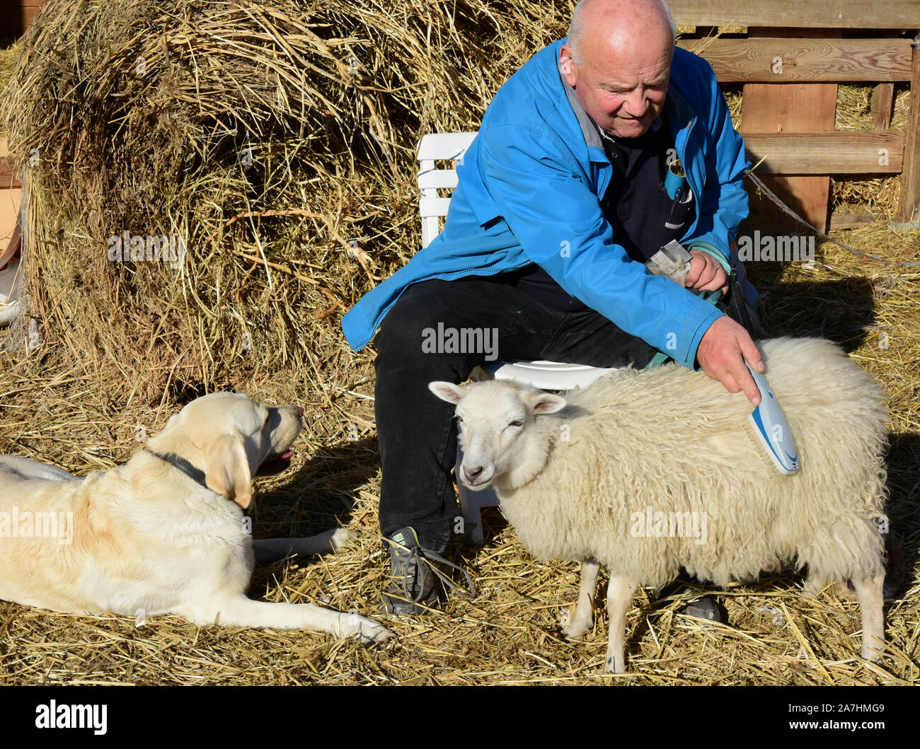 Schkeuditz, Germany. 14th Oct, 2019. Werner Dreßler combs his lamb Nanni before he walks him, Labrador Emmy (l) and the other animals. The 79-year-old trained master toolmaker takes the five animals for a walk in the city every day and is an eye-catcher for locals and visitors alike. The lamb Nanni was raised with the bottle and is accustomed to the walks with his mama sheep and the dogs from an early age. Credit: Waltraud Grubitzsch/dpa-Zentralbild/ZB/dpa/Alamy Live News Stock Photo