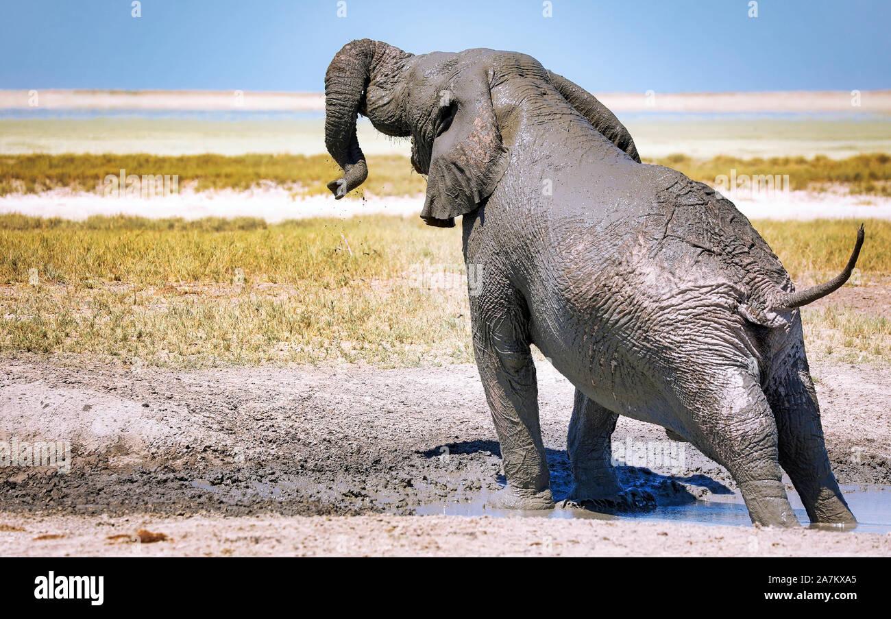 elephant in the mud, Etosha National Park, Namibia, (Loxodonta africana) Stock Photo