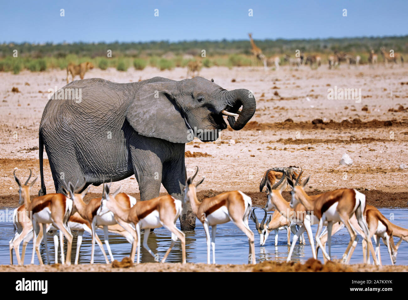 elephant at the waterhole, Etosha National Park, Namibia, (Loxodonta afric Stock Photo
