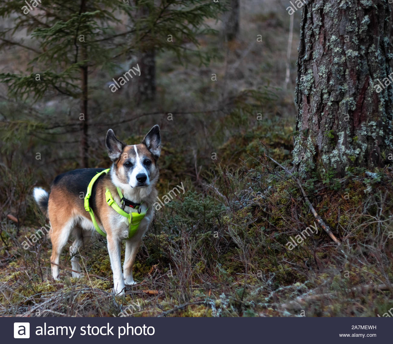 attentive dog during the hunting season equipped with a safety vest in signal color Stock Photo