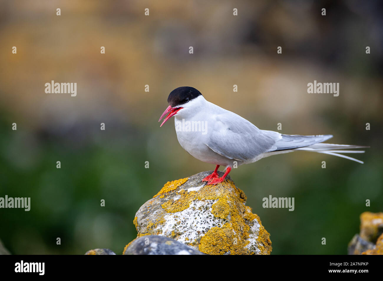 Arctic tern, (Sterna paradisaea), are mainly grey and white plumaged, with a red/orangish beak and feet, white forehead, a black nape and crown. Stock Photo