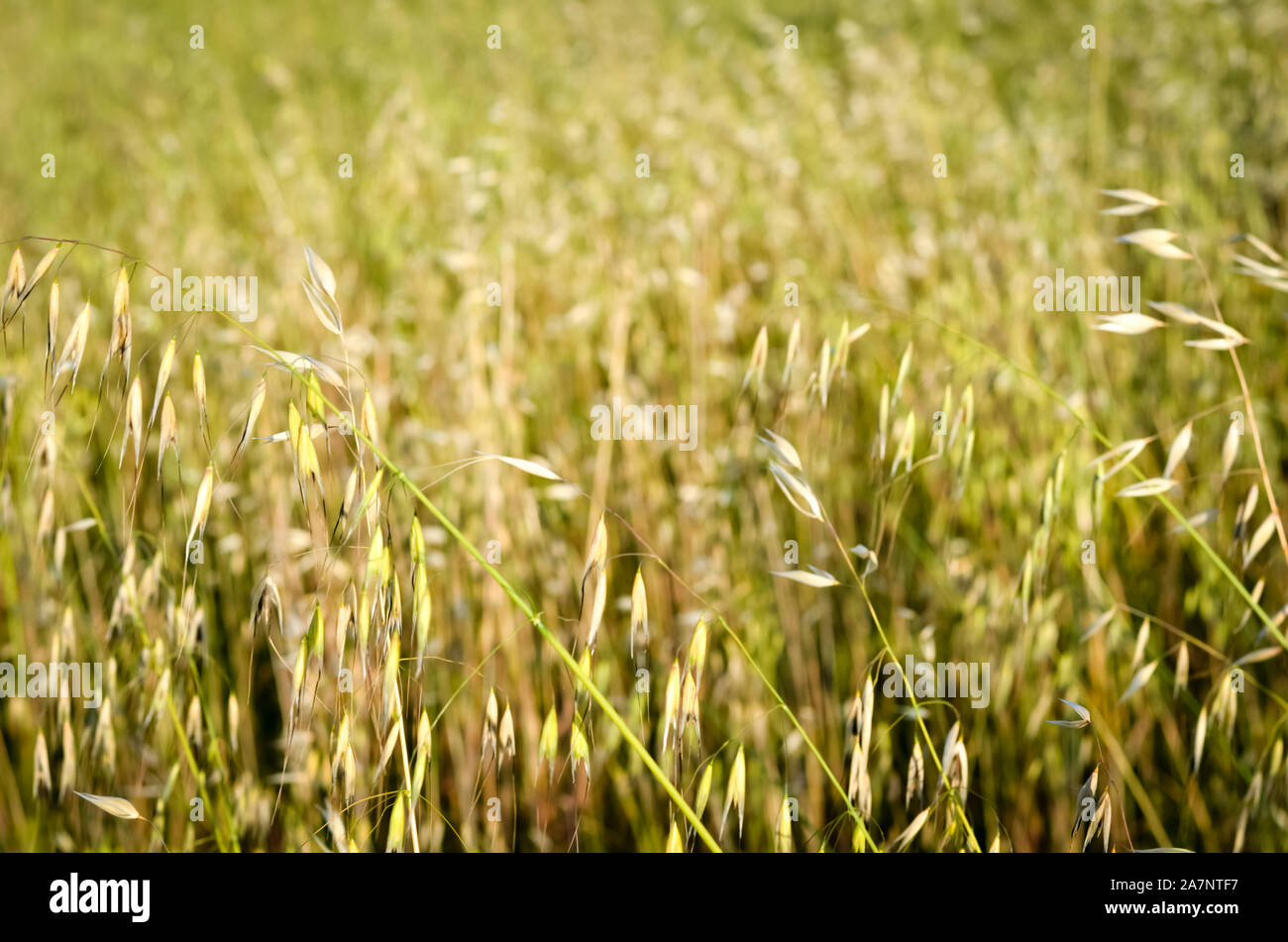 Defocused background of spring wild oat  field . Stock Photo