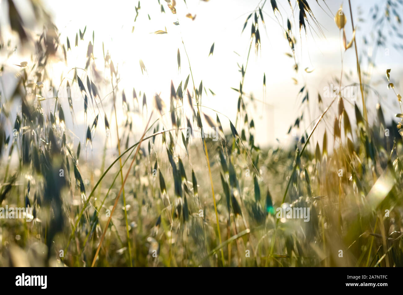 Spring wild oat  field  during  summer . Stock Photo