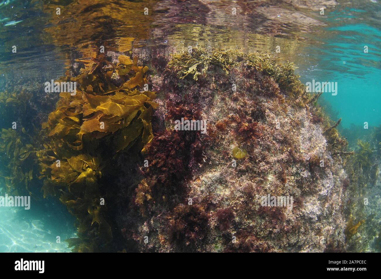 Underwater rock covered with various short seaweeds and brown stalked kelp breaking calm ocean surface. Stock Photo