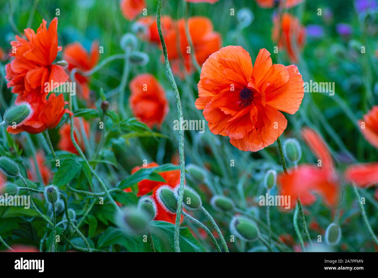 In poppies field. Red poppies on a field on a summer sunny day. Summer and spring, landscape, poppy seed. Opium poppy, botanical plant, ecology. Drug Stock Photo