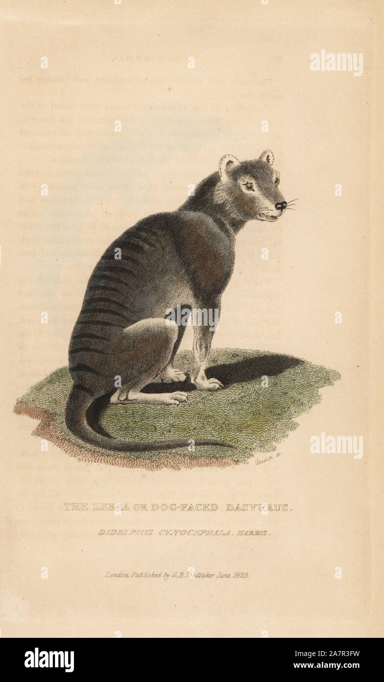 Tasmanian wolf or thylacine, Thylacinus cynocephalus. Extinct (Zebra or dog-faced dasyrus, Didelphis cynocephala). Handcoloured copperplate engraving by James Basire from Edward Griffith's The Animal Kingdom by the Baron Cuvier, London, Whittaker, 1825. Stock Photo