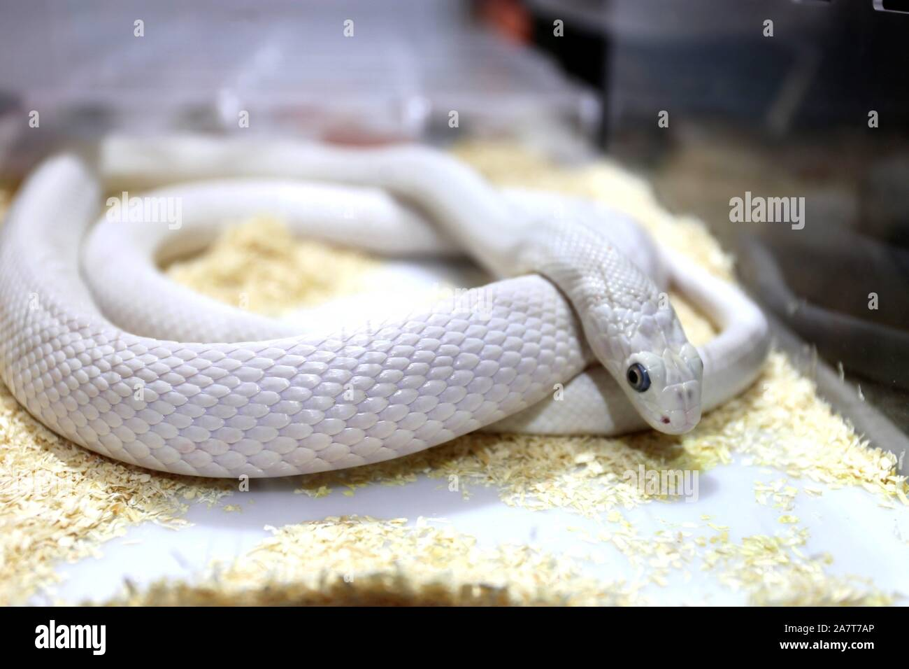 A White Snake Is Displayed As Exotic Pet At Pet Fair Asia 2019 In Shanghai China 23 August 2019 Local Caption Fachaoshi Stock Photo Alamy