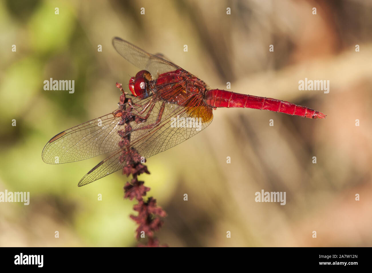 Crocothemis erythraea common scarlet-darter dragonfly of intense red color perched in a reed by a stream natural light Stock Photo