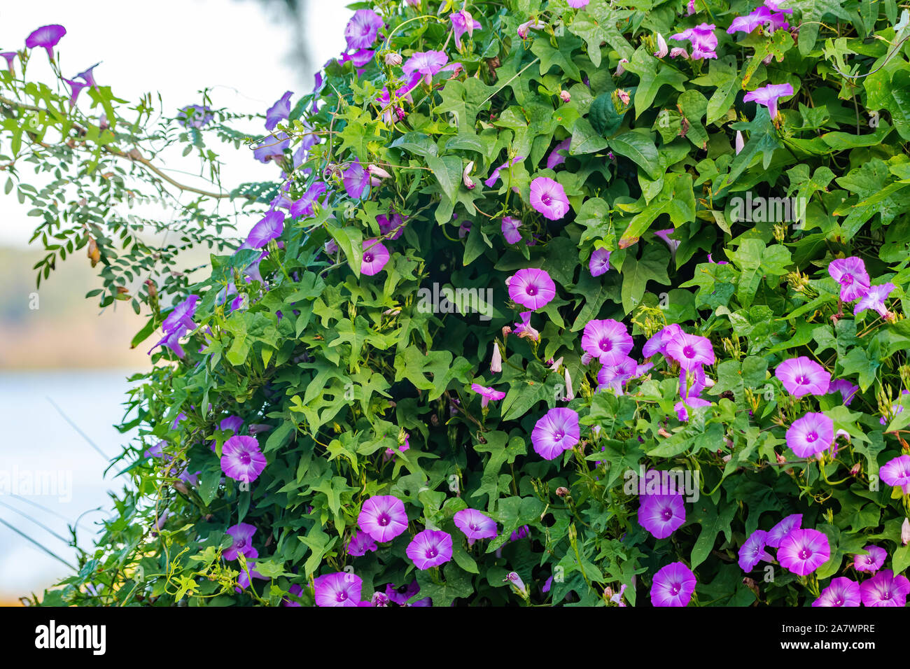 Purple Flower Creeper Stock Photos Purple Flower Creeper Stock