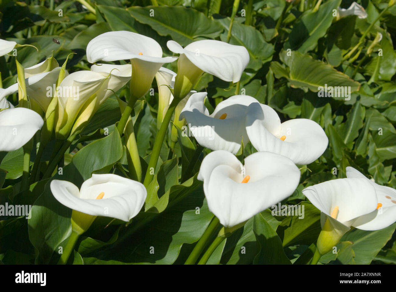 Zantedeschia Aethiopica Known As Calla Lily And Arum Lily Is A