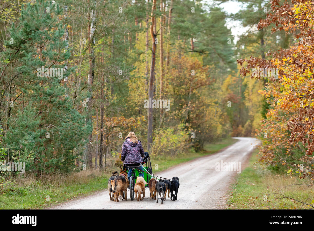 Nuremberg, Germany - November 02, 2019: Woman taking many dogs for a walk in the forest with a three wheeled bicycle on a gravel road Stock Photo