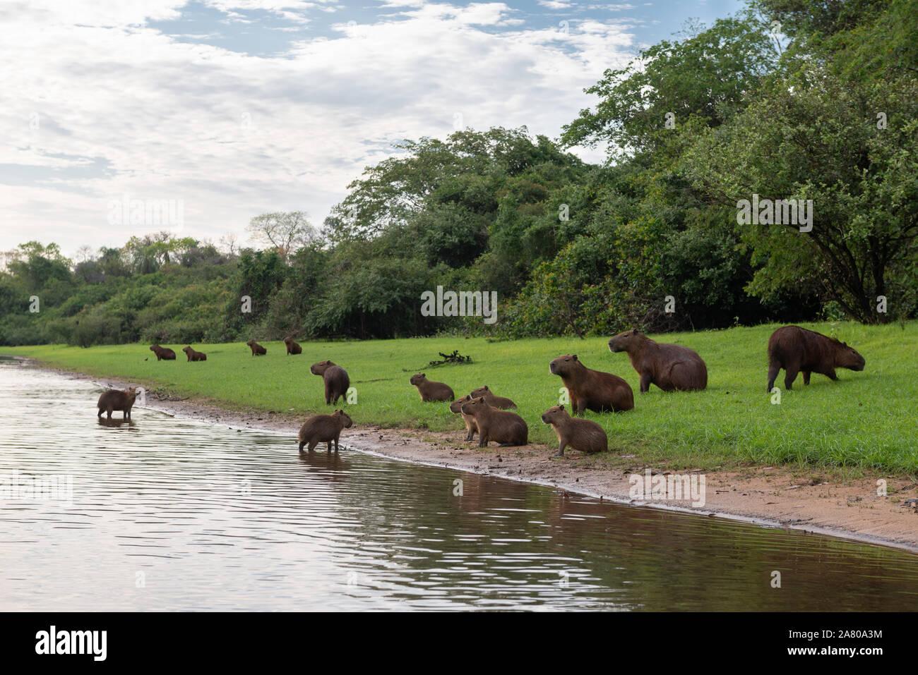 A family group of Capybaras in South Pantanal Stock Photo