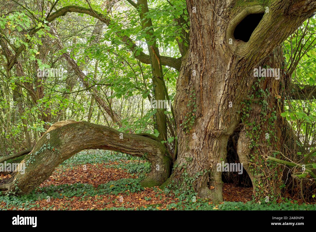 A verry old large-leaved lime tree ( Tilia platyphyllos) Stock Photo